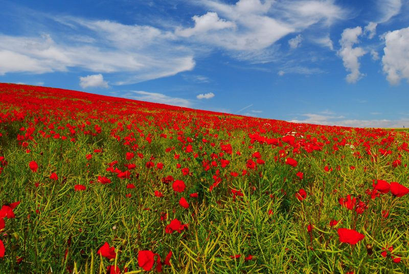 A photo of a field of poppies in Flanders by Vincent Brassine.
